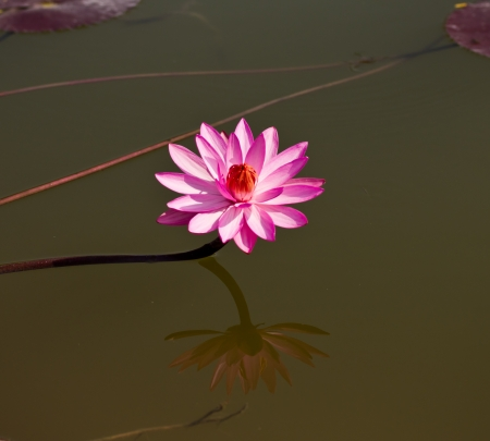 beautiful blossom lotus flower in Thailand pond reflect on water Stock Photo - 25410937