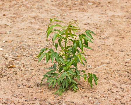 neem: Neem plant growing from soil Stock Photo