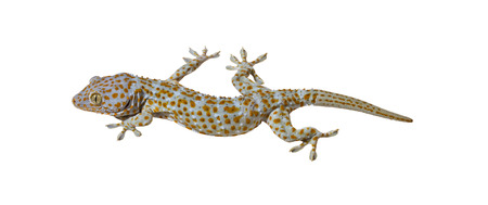 Tokay Gecko on a white  photo
