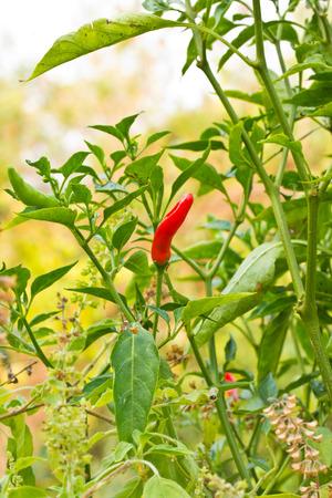 Red chili tree photo