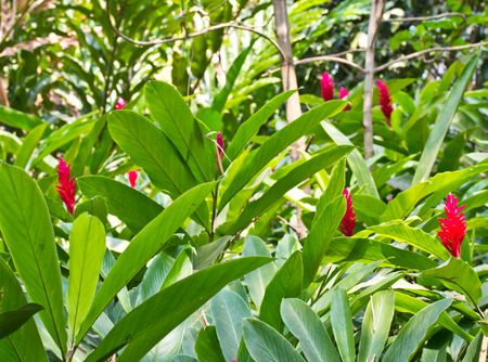 alpinia: A Beautiful Tropical Red Ginger (Alpinia Purpurata) Flower Stock Photo