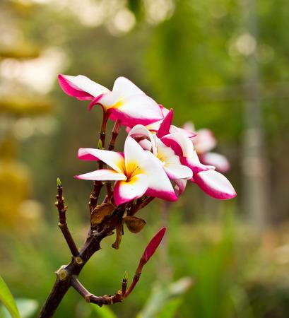 pink plumeria , Thailand