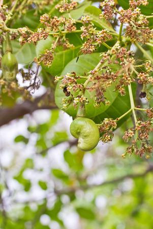 cashew tree: young cashew nut on tree