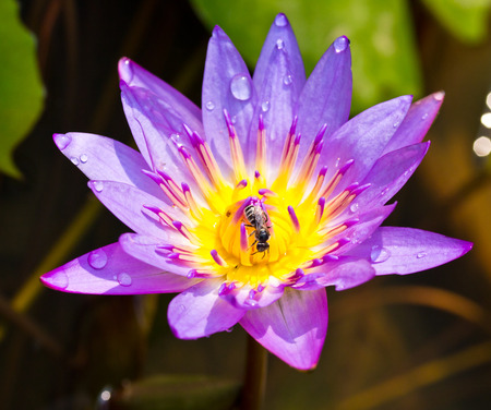 close up of purple lotus and bee photo