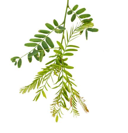 Tamarind leaf isolated photo
