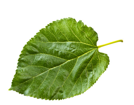Mulberry leaf isolated on a white Banque d'images