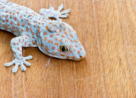 Closeup of gecko on the wood wall photo