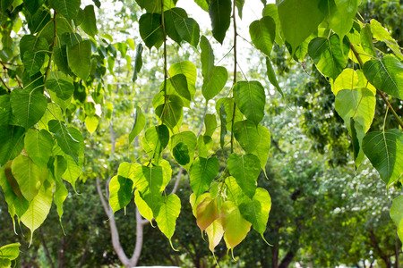 peepal tree: Bodhi or Peepal Leaf from the Bodhi tree, Sacred Tree for Hindus and Buddhist Stock Photo