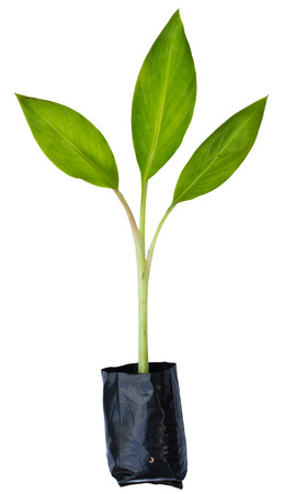 Banana plant in the plastic bag on white background photo
