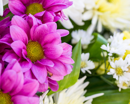Chrysanthemum flower in the garden photo