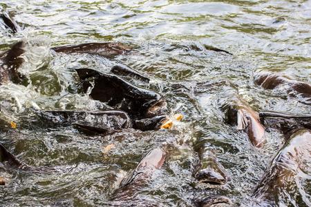 shark catfish: Sutchi catfish ( Iridescent shark, Striped catfish ) eating bread in water Stock Photo