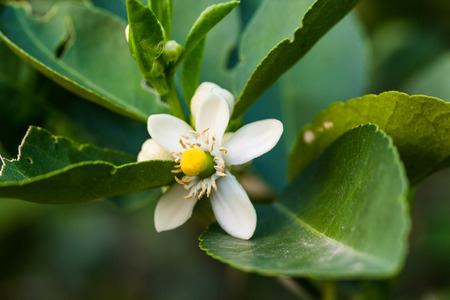 orange blossom: flower orange blossom in spring in pollinating time macro detail Stock Photo