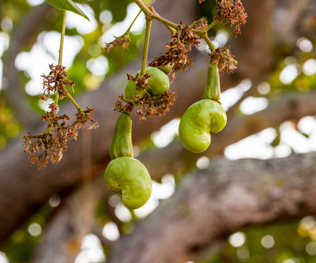 cashew tree: Cashew nuts growing on a tree This extraordinary nut grows outside the fruit
