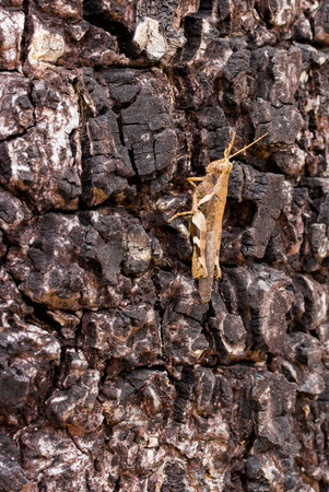 caelifera: A grasshopper on the tree
