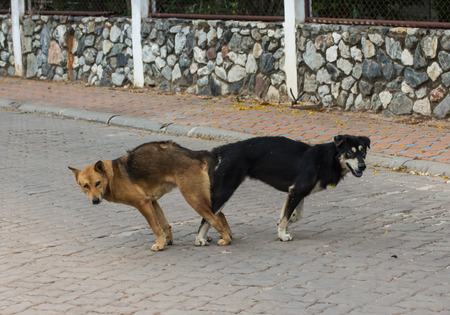 animal sex: male and female thai dog mating Mating of pet.