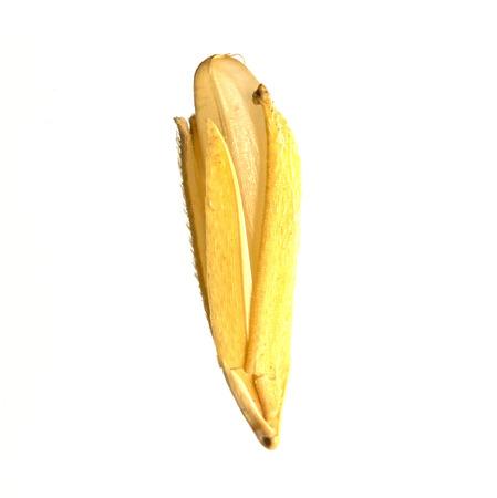 白水田水稲における米粒