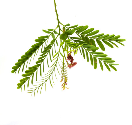 Tamarind flower and leaves on white