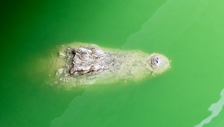 alligator eyes: Crocodile floating in the water close up
