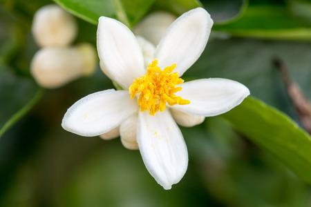 木の上のオレンジの花。オレンジは熱帯植物です。