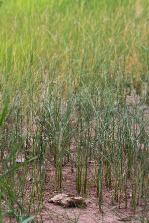 lack of water: rice plant withered for lack of water