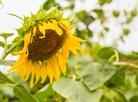 drooping: Close-up view of single drooping and wilted sunflower