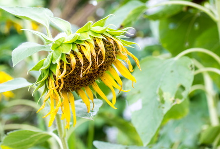 wilted: Close-up view of single drooping and wilted sunflower