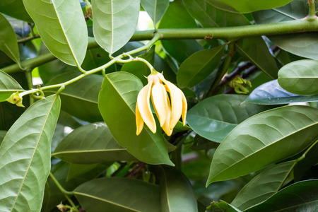 odorous: Ylang-Ylang Flowers on tree , Thailand