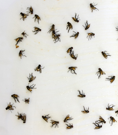 Flies caught on sticky fly paper trap