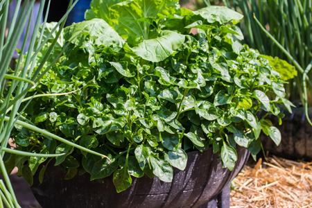 berros: ensalada de berros sano verde fresca de primavera