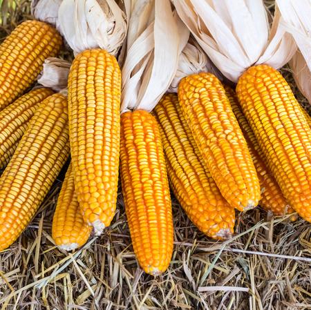 maize: Corn maize cobs after harvesting season.