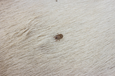 dog tick: Big Tick on a dog in cleaning.