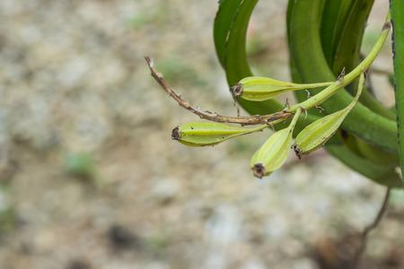 vigilant: pod of an orchid. Stock Photo