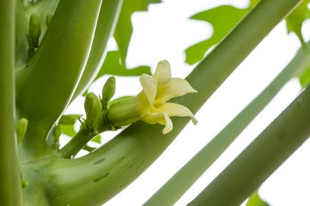 papaya flower: Beautiful Papaya Flower on tree.
