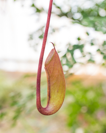 insectivorous plants: Insectivorous plants Nepenthes Ampullaria close up