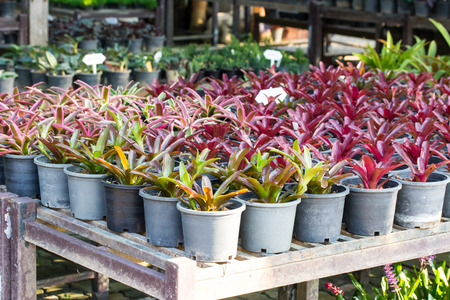 colorful of Bromeliad garden Stock Photo