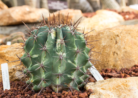 Cactus planted in a botanical garden. Stock Photo