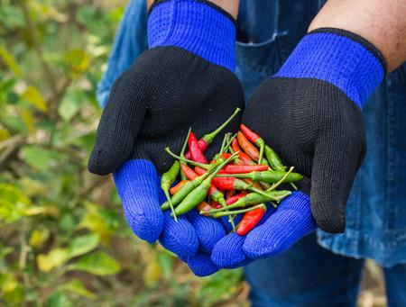 jardineros: Los jardineros estaban recogiendo el chile.