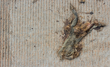 entrails stomach: Dead toad or frog is crushed to death by car on the road