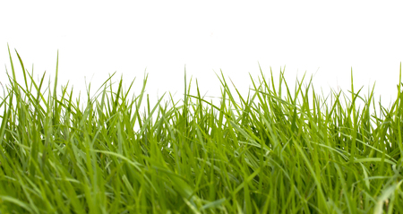 lawn grass: Fresh spring green grass on white background.