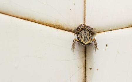 bullfrog: close up bullfrog in bathroom