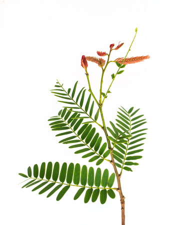 pea pod: Tamarind leaves on white background