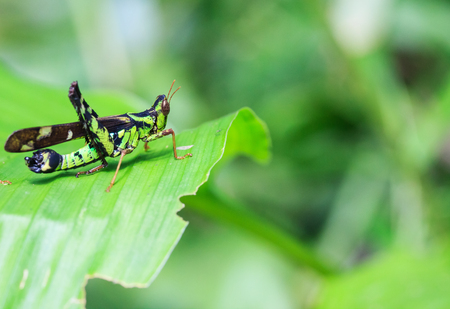 Differential Grasshopper resting inside a leaf. Stock Photo