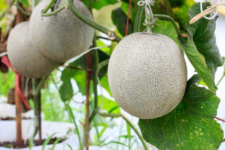 Cantaloupe: Melon. Fresh melon on tree. selective focus Stock Photo