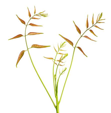 Margosa (also named as nim, neem tree, Melia, Azadirachta indica, mahogany, Meliaceae Margosa, Sadao, or Melia azedarach) leaf isolated on white background Stock Photo