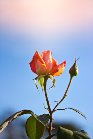 nobleness: orange rose with yellow tone in morning