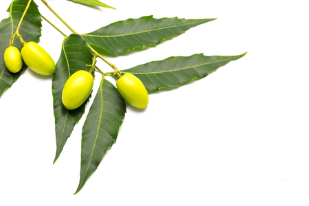 Medicinal neem fruits with twigs over white background Stock Photo - 77584381