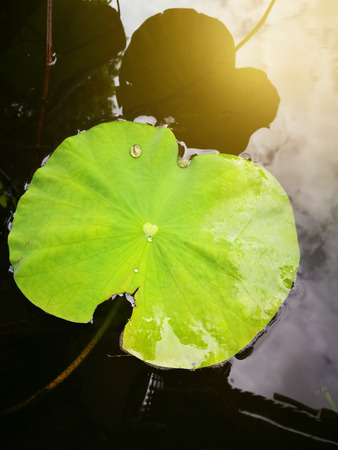 Lotus leaves on pond, top view