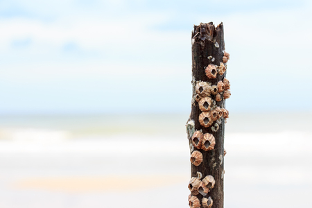 Group of barnacles bore to the wood