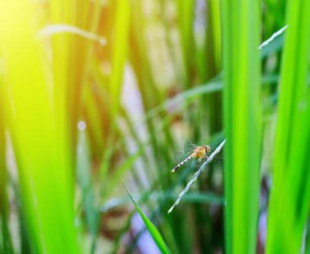 pondhawk: Western Pondhawk Dragonfly Perched On rice Leaf