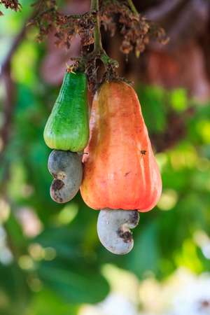 Cashew tree with the raw fruit and nut